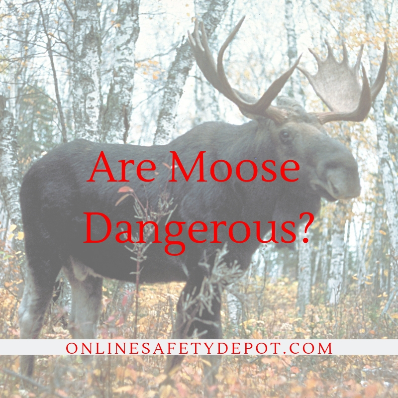 Are Moose Dangerous
