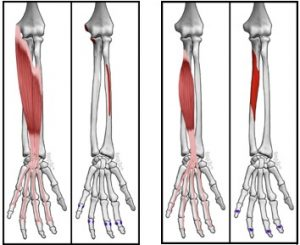 Finger Flexer Muscle | Online Safety Depot
